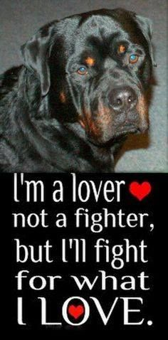 I'm a lover not a fighter Hund welpen, Rottweiler h Rottweiler Quotes, Rottweiler Pictures, Rottweiler Puppies, Beagle, German Rottweiler, Big Dogs, I Love Dogs, Cute Dogs, Dogs And Puppies
