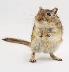 Gerbils are a prohibited species in California, released into the wild they become a serious threat to agriculture