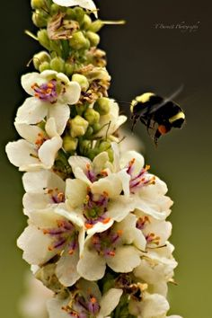 ≗ The Bee's Reverie ≗ Bumble and Verbascum