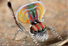 The Peacock spider, Australia.