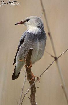 ギンムクドリ (銀椋鳥)  Red-billed Starling (Sturnus sericeus, Sturnia sericeus)