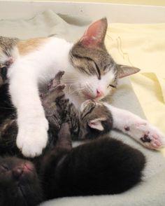 mom cuddling her kittens