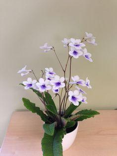 Buy Streptocarpus in a ceramic gift pot Streptocarpus 'Crystal Ice (PBR)'
