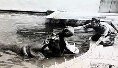 El cuidador del parque de El Retiro acariciando a un hipopótamo. Madrid.