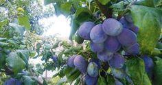 Prečo nám hnijú slivky priamo na strome? Fruit, Gardening, Food, Meal, The Fruit, Garten, Essen, Hoods, Lawn And Garden
