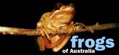 Complete list of Queensland frogs Frogs of Australia