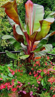 Red banana plant, fuchsia Gartenmeister, pink dragon wing begonia, lavender verbena Beautiful for a tropical feel Red Banana Plant, Red Banana Tree, Banana Plants, Tropical Garden Design, Tropical Backyard, Tropical Landscaping, Backyard Landscaping, Pool Plants, Outdoor Plants