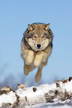 Running Wolf https://www.pinterest.com/joysavor/wolf-pack/