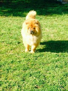 Meet ASPEN, a Petfinder adoptable Chow Chow Dog   Dix Hills, NY   Meet Aspen...He is estimated to be about 4 years old and is a neutered male red Chow Chow who is up...