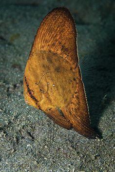 Lembeh Aer Bajo 3 - Juvenile Bat Fish | Flickr - Photo Sharing!