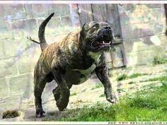 Об агрессивном поведении собак  | Спастись и выжить!