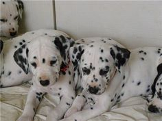 Purebred Dalmatian Puppies - fully registered. - langwarrin, VIC .