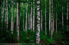 Birch Tree Forest (Sweden)