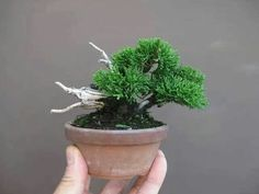 Bonsai Pine Bonsai, Juniper Bonsai, Conifer Trees, Deciduous Trees, Terraria Tips, Asian Flowers, Plantas Bonsai, Bonsai Seeds, Indoor Bonsai