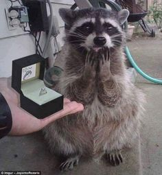 Raccoon Memes In Honor Of The Cutest Little Trash Bandits – tiere Cute Little Animals, Cute Funny Animals, Funny Cute, Cute Dogs, Super Funny Pictures, Funny Animal Pictures, Animal Pics, Pet Raccoon, Cute Creatures