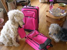 The very best and cutest pink luggage for ladies and kids. The trendiest designs and models of travel baggage which are all pink, yay! Poodles pondering pink luggage, http://airlinepedia.net/pink-luggage.html