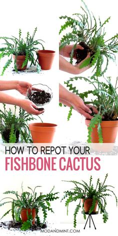 What to do when your Fishbone Cactus is growing larger? It is time to prune and propagate those stem leaves and maybe repot your plant in a bigger pot. Real Plants, Large Plants, Succulent Soil, Succulents, Cactus Care, Cactus Cactus, Indoor Cactus Plants, Plant Crafts, Mother Plant