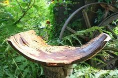 Traubenkirsche Maserholz, ca. 40 x 10 cm