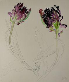 Tulip ,Black Parrot-Chisako Fukuyama,Pencil drawing, Watercolor  http://chisako-fukuyama.jimdo.com/pencil-drawings-dessin/