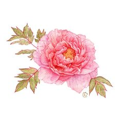 Peonies on Behance