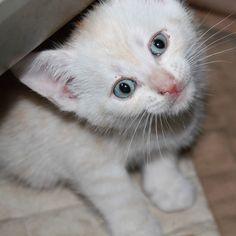Hi it's me again! Zjimpie! I just wake up! GOOOODMORNING!  #cutecats #kittens #whitekitten #gingerkitten #kittenmodel #kittenplay #cuteanimals #catastic #catsofinstagram #cat #littlecat #modelcat #kittensofinstagram #kittencute #adorablekittens #cutecats #catlook by purrrrfect_cats_