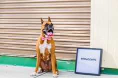 Boxers are such beautiful dogs, many of their characteristics make them one of the best dog breed to own. If you own a boxer dog, you might have noticed throughout the time of care, they have been scratching and showing signs of itchy skin.