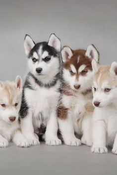 Multi-color huskies. If you want to see the full image, it is on the siberescue website. #siberianhuskypuppy