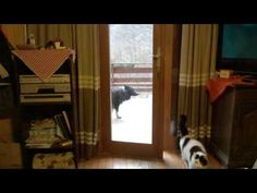 Clever Dog Lets BFF Cat Back Inside The House – So Smart! (VIDEO)