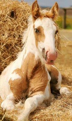 Adorable baby horse, foal, lying in the straw. Paint markings with cream and pretty tan. He is so fuzzy and cute!