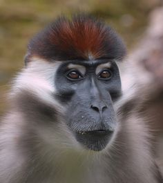 Cherry-crowned Mangabey (Cercocebus torquatus) by Roger Sargent: Mangabeys are some of the most rare and endangered monkeys are earth and are found only in Africa. They have tails longer than their bodies for good balance in the rain forest canopy. http://animals.sandiegozoo.org/animals/mangabey #Monkey #Mangabey