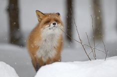 Foxes are found all over the world. In folklore, foxes are typically characterized as cunning creatures sometimes having magical powers.
