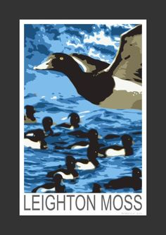 Tufted Ducks at Leighton Moss (Art Print)