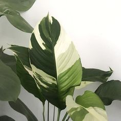 Picasso in store. Also enter our competition in a recent post! 2 weeks left to enter! . . . . #theplantsociety #theworkershouse #plantstagram #plantsofinstagram #houseplants #indoorplants #houseplantsofinstagram #plantsmakepeoplehappy #plantsarefriends #botany #plantgoals #greenery #plants #plantbased #aroidaddicts #foliage #leaf #plantlife #urbanjunglebloggers #plantparenthood #spathiphyllumpicasso #nothingisordinary #liveauthentic #植物のある暮らし #정원 #観葉植物 #plantas