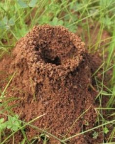 How To Kill Ant Hills Using One Natural Ingredient Ant