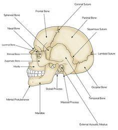 human skull labeled diagram facials anatomy, skull anatomy