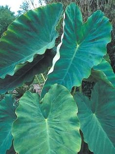 Colocasia esculenta 'Jack's Giant'|Juniper Level Botanic Gdn, NC|