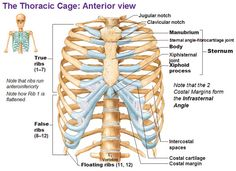 Thoracic Cage-The rib cage, shaped in a mild cone shape and more flexible than most bone sets, is made up of varying elements such as the thoracic vertebra, 12 equally paired ribs, costal cartilage, and held together anteriorly by the sternum.The primary responsibilities of the rib cage involve protecting the thoracic visceral organs, enclosing the thoracic visceral organs, and is included in the general mechanics of the process of breathing.The
