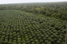 Palm Oil plantation next to virgin rainforest, Borneo. Palm oil is the largest threat to the rainforest of Borneo. Agriculture, Habitat Destruction, Advantages Of Solar Energy, Energy Resources, Solar Energy System, Biomes, Environmental Issues, Palm Oil