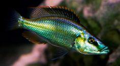 Malawi Cichlids, African Cichlids, Tropical Aquarium, Tropical Fish, Colorful Animals, Colorful Fish, Cichlid Fish, Lake Tanganyika, Freshwater Aquarium Fish