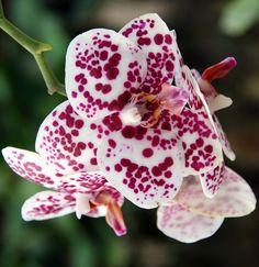 orquidea Bicolor Mariposa Moteada.