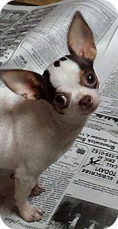 Durham, NC - Chihuahua. Meet Millie, a dog for adoption. http://www.adoptapet.com/pet/11913718-durham-north-carolina-chihuahua