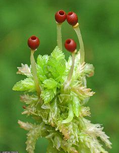 Sphagnum moss  (Klippan nature reserve, Sweden) ~ By ratexla