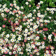Santa Barbara Daisy, Mexican Daisy, Erigeron karvinskianus - Ground Cover, Perennial, Full to Partial Sun, Minimal Water