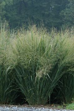 Switchgrass (Panicum virgatum 'Northwind'): A native grass with an upright habit, low-care nature, and fluffy seed heads!  Picked by: Kim