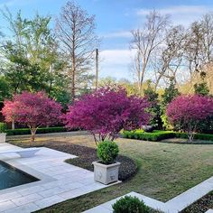 Chinese fringe flower (loropetalum Chinese) trimmed into stunning trees create dramatic color contrast. Courtyard Entry, Sidewalk, Chinese, Landscape, Backyard Ideas, Create, Flowers, Plants, Contrast