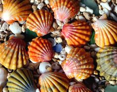 Hawaiian sunrise Seashells