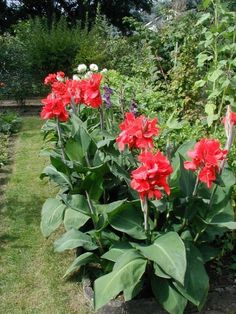 Canna Lily Care: How To Grow Canna Lilies - Canna lilies are low maintenance and easy to grow. Both their flowers and foliage offer long-lasting color in the garden. Read this article for more information on growing these versatile plants.
