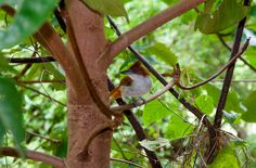 Foto choró-boi (Taraba major) por Evaldo HS Nascimento | Wiki Aves - A Enciclopédia das Aves do Brasil