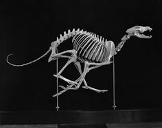 Mounted skeleton of Russian Wolfhound, right side. Original photographer Julius Kirschner. March 1929. Image number 312676. American Museum of Natural History Library http://images.library.amnh.org
