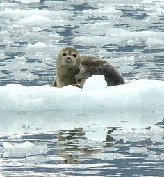 Seal | Prince William Sound, Alaska